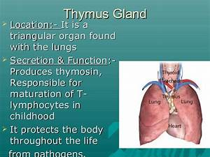 Thymus Gland Function | tenderness.co