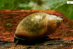 Was Fressen Schnecken : schneckenplage im aquarium garnelen onlineshop ~ Orissabook.com Haus und Dekorationen