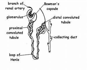 The Anatomy And Physiology Of Animals  Excretory System