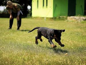 rottweiler puppy training taming the gentle giants With rottweiler dog training