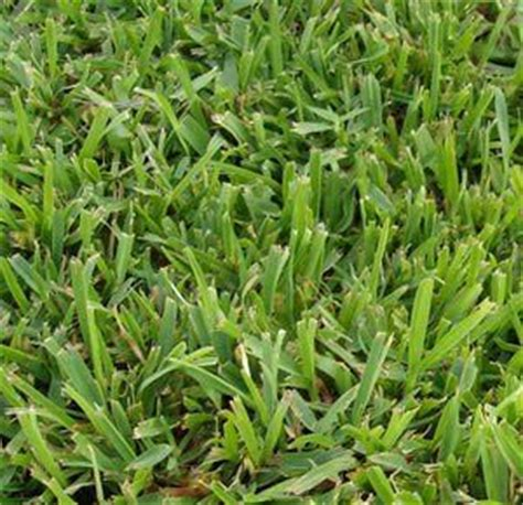 yard grass types 25 best ideas about types of lawn grass on pinterest lawn grass types types of grass and