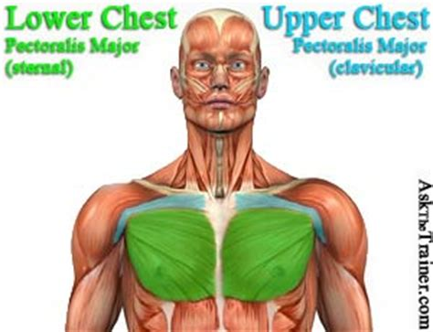 For successful bodybuilding, it is important to know the anatomy of the muscles and how to they work. Push-Up Exercise Routine, Variations, How-to, Videos and Workout Tips