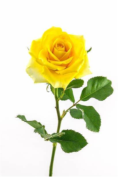 Yellow Rose Roses Clear Background