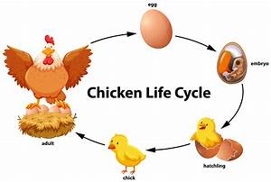 Chicken Life Cycle Diagram