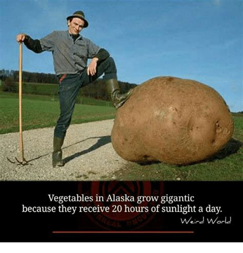 vegetables alaska grow gigantic receive hours