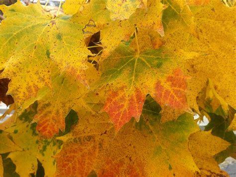 Herbst Garten Düngen by Ahorn Herbst Bl 228 Tter Blumen 6 Streucher Stauden