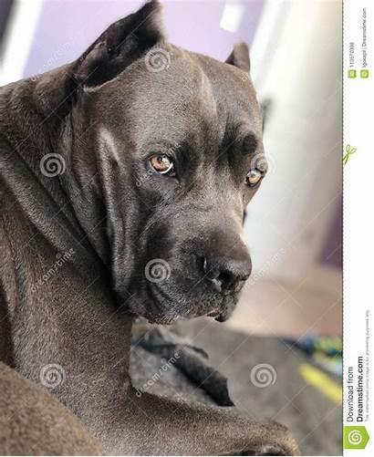 Corso Cane Mastiff Italian Three Eyes Strong
