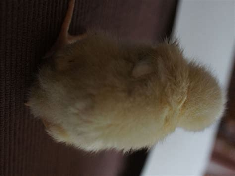 1 Week Old Baby Chick With Swollen Abdomen