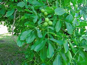 Pin English-walnut-tree-pictures on Pinterest