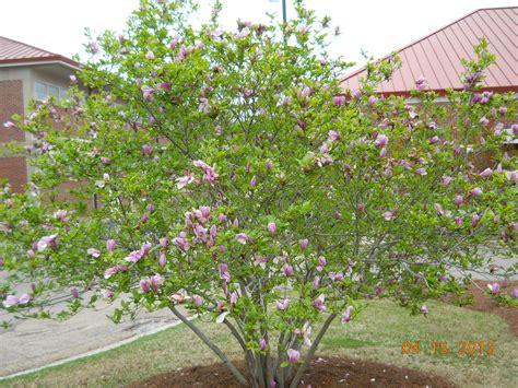japanese magnolia tree facts image gallery japanese saucer magnolia