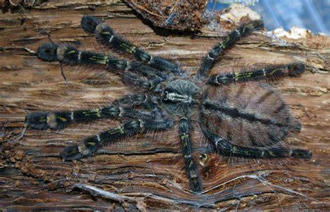 tiger spider genus poecilotheria weneedfun
