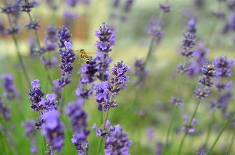 true lavender plants image gallery true lavender