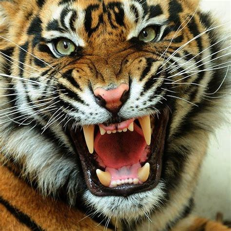 tiger angry roaring face tigers cute animal tigre types wild animals