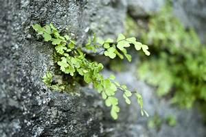 Pflanzen Für Trockenmauer : naturgarten zwergfarne f r die trockenmauer farnwerk g rtnerei farne online kaufen ~ Orissabook.com Haus und Dekorationen