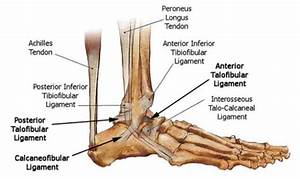 Anatomy  Foot  Ankle