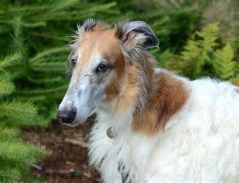 borzoi russian wolfhound breed information