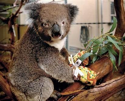 Animals Mittens Amazing Koala Koalas Wear 1900