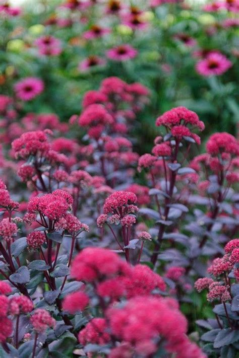 sedum with pink flowers sedum quot red cauli quot a fleshy leaved perennial with plum purple foliage and tightly packed
