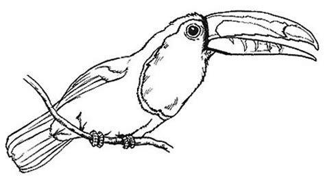 toucan clipart black and white toucan 5 animals birds t toucan toucan 5 png html