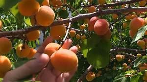 Amazing Apricot Fruit Tree! - YouTube
