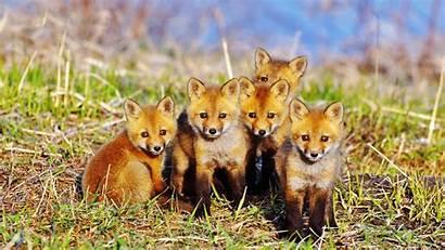 Fox Wallpapersafari