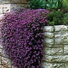 Fast Growing Ground Cover, Purple Cascading Aubrieta