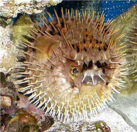 interesting puffer fish facts daily world facts