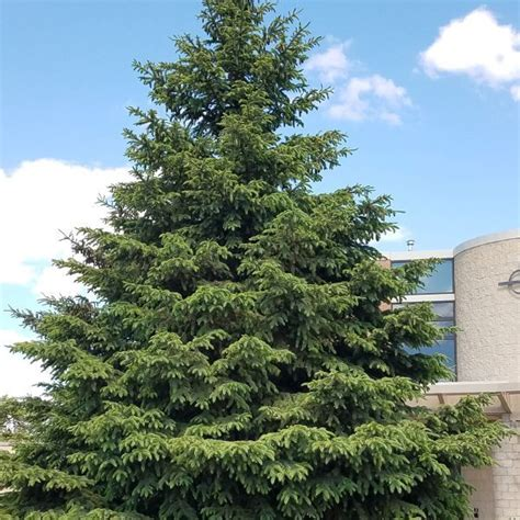 images of black hills spruce christmas tree best
