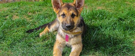 Die schönsten hundenamen für weibliche und männliche hunde. schaferhund-welpen-suess | Schäferhund welpen, Welpen, Hunde