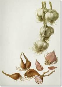 8 best images about Garlic Art on Pinterest | Watercolors ...