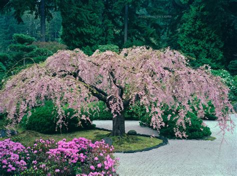 do weeping cherry trees produce cherries japanese weeping cherry trees www pixshark com images galleries with a bite