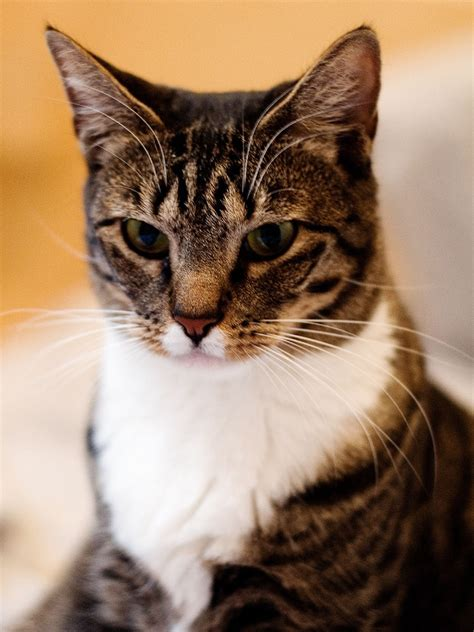 Shorthair Cat - lifesacommute domestic cats with hair
