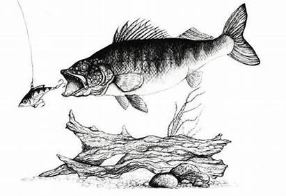 Fish Walleye Drawings Lake Ink Drawing Fishing
