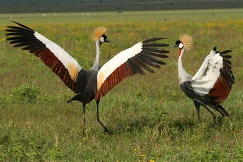 bird mating rituals www pixshark com images galleries