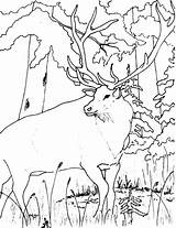 Elk Coloring Pages Forest Looking Wildlife Winter Colornimbus sketch template