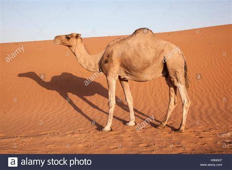 Camel Images A Dromedary Arabian Camel In The Desert Stock Photo