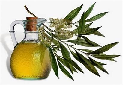 Skin Tea Oil Tree Rashes Natural Remedies