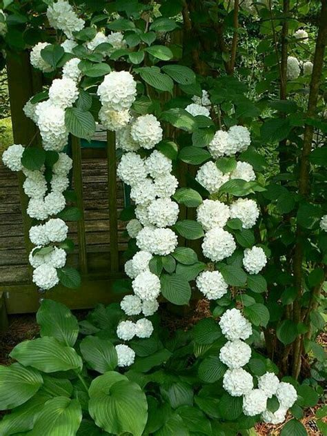 25+ Best Ideas About Climbing Hydrangea On Pinterest