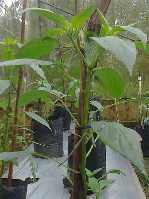 risgyus budidaya tanaman cabai polybag