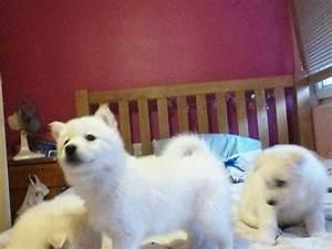 SNOW WHITE SIBERIAN HUSKY PUPPIES- GREEN EYES! | London ...