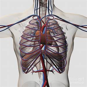 Medical Illustration Of Male Chest By Stocktrek Images