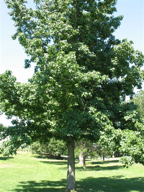 sweet gum tree 301 moved permanently