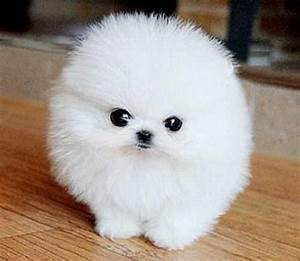 teacup dog adoption