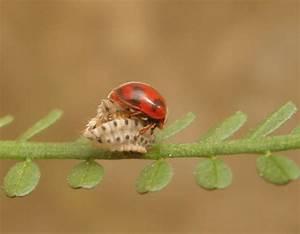 Applied Biological Control Research: Biocontrol of Icerya ...