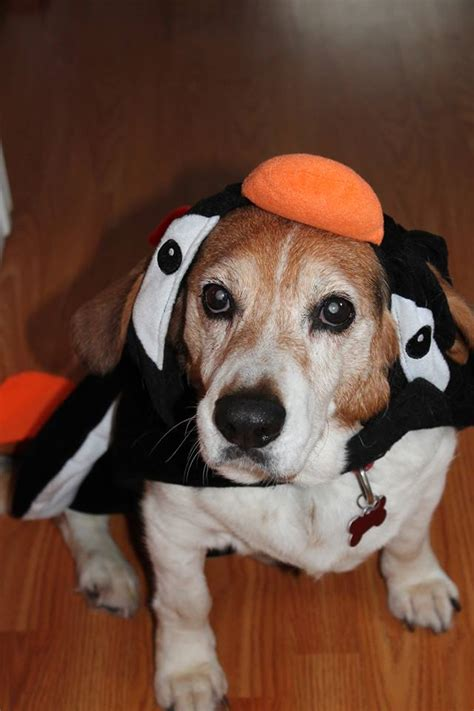 beagle paws rescue kelowna chapter home facebook