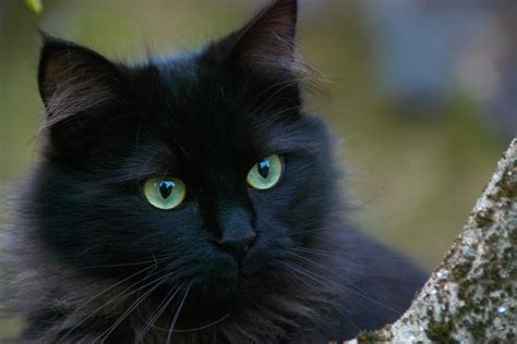 black cats halloween and cats face foundation