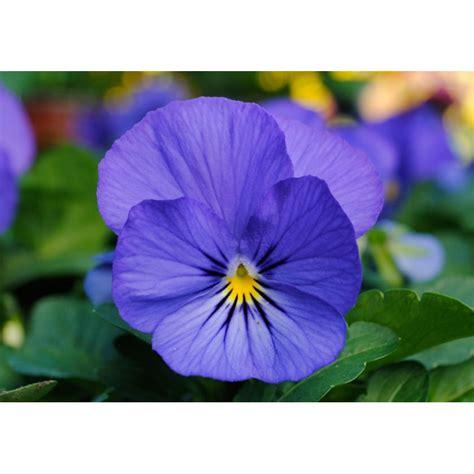 fiore viola pianta di viola a fiore piccolo sorbet xp true blue