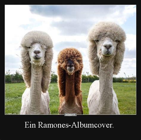 ein ramones albumcover alpaka lustig suesseste haustiere