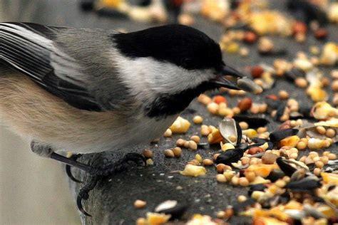 choose   birdseed   backyard birds