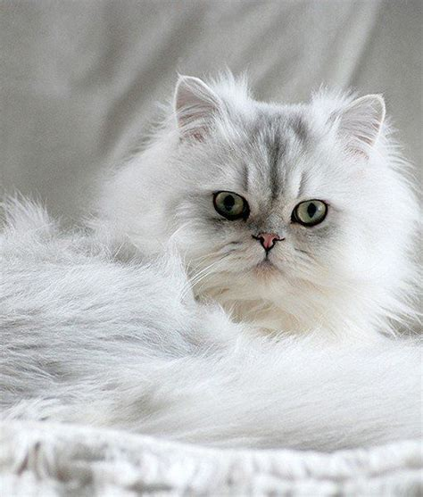 What Are The Pros And Cons Of Having A Chinchilla Persian